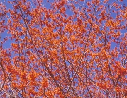 Hamamelis vernalis–Ozark Witchhazel