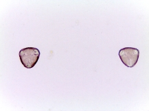 Halesia tetraptera–Common Silverbell