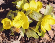 Eranthis hyemalis–Winter Aconite