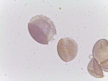 Erythronium rostratum–Yellow Fawnlily