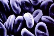 Galanthus nivalus – Snowdrop