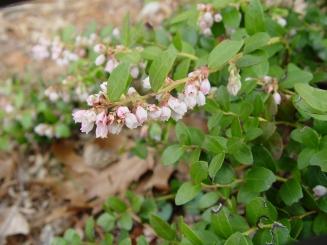 Gaylussacia brachycera–Box Huckleberry