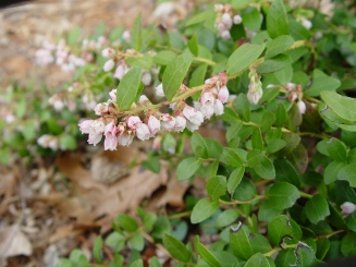 Gaylussacia brachycera–Box Huckleberry