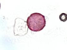 Gelsemium sempervirens–Carolina Yellow Jasmine