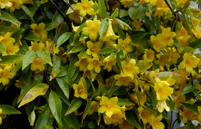 Gelsemium sempervirens–Carolina Yellow Jasmine
