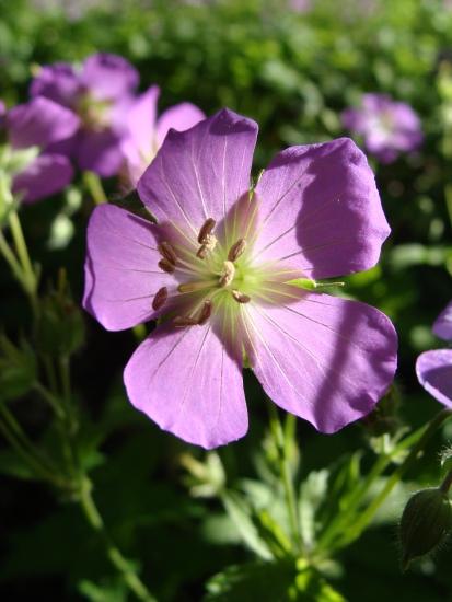 Geranium maculatum–Spotted GeraniumGeranium maculatum–Spotted Geranium
