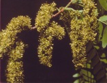 Gleditsia triacanthos–Honey Locust