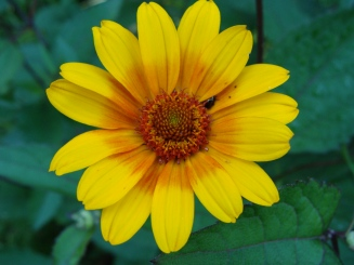 Heliopsis helianthoides–Rough Oxeye