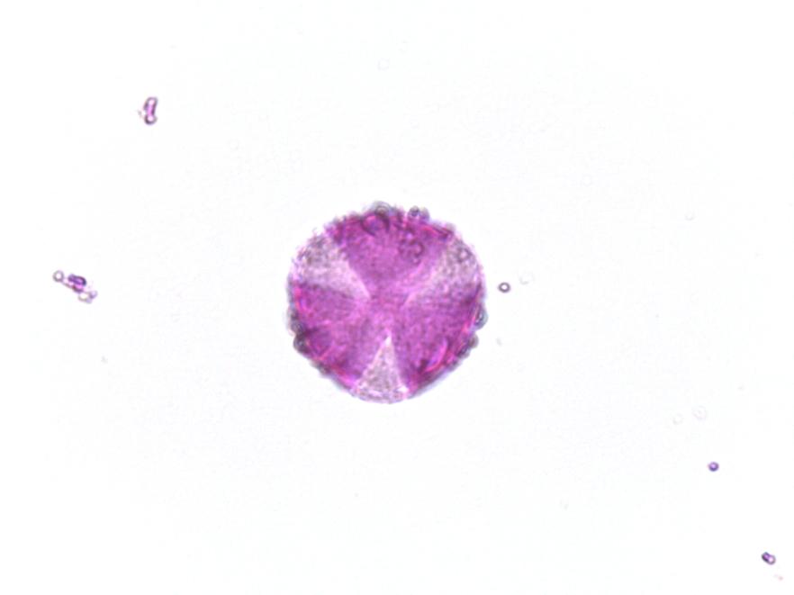 helleborus-foetidus010