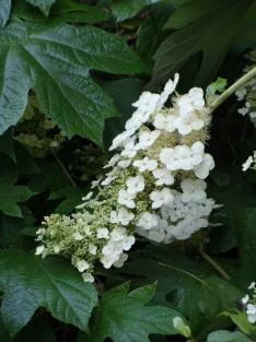 Hydrangea quercifolia–Oakleaf Hydrangea