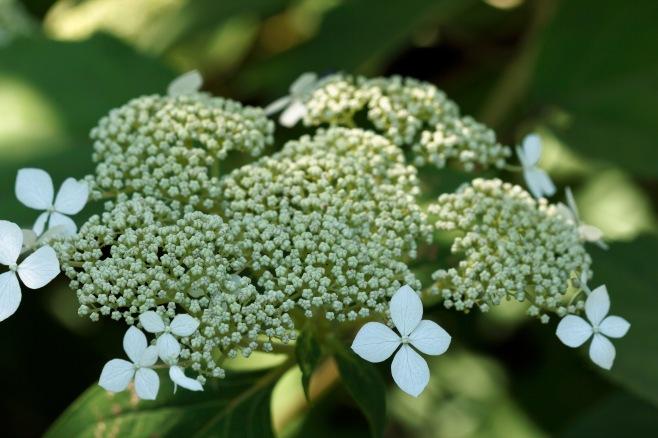 Kalmia latifolia–Mountain Laurel