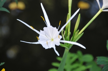 Hymenocallis occidentalis–Northern Spiderlily
