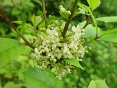 lex opaca–American Holly