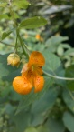 Impatiens capensis – Jewelweed