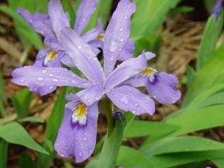 Iris cristata–Dwarf Crested Iris