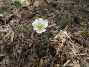 Jeffersonia diphylla–Twinleaf