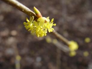 Lindera benzoin–Northern Spicebush