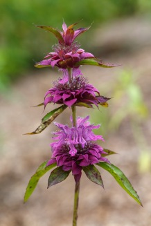 Monarda citriodora – Lemon Bee Balm