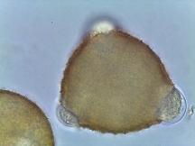 Lonicera sempervirens – Trumpet Honeysuckle
