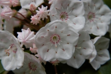 Kalmia latifolia–Mountain Laurel