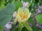 Liriodendron tulipifera–Tulip Tree
