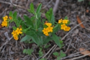 Lithospermum canescens–Hoary Puccoon