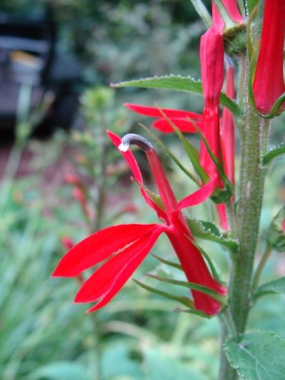 Lobelia cardinalis–Cardinal Flower