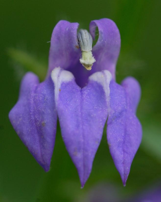 Lobelia siphilitica–Great Lobelia