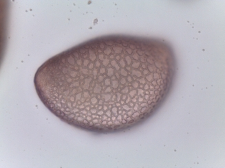 Lycoris squamigera–Ressurection Lily