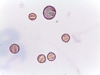 Lythrum salicaria–Purple Loosetrife