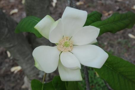Magnolia fraseri–Mountain Magnolia