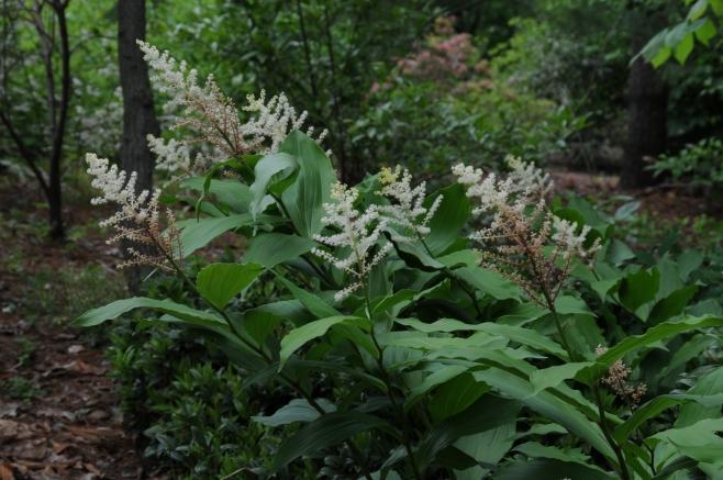 Maianthemum racemosum–False Spikenard