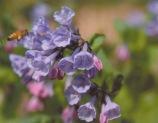 Mertensia virginica–Virginia Bluebell