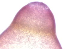 Oenothera missouriensis–Missouri Evening Primrose