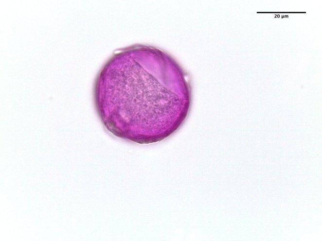 Panicum virgatum