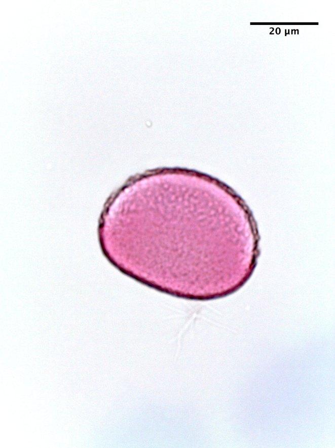Petunia spp
