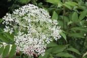 Sambucus canadensis–American Elderberry