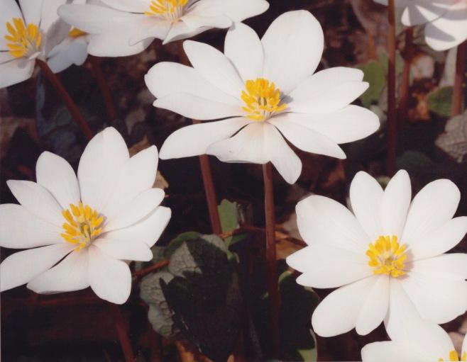 Sanguinaria canadensis–Bloodroot