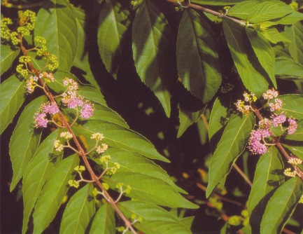 Callicarpa dicotoma–Purple Beautyberry