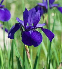 Iris hexagona–Louisiana Iris