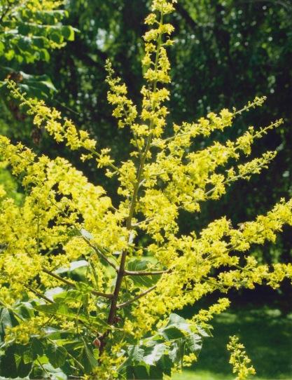 Koelreuteria paniculata–Goldenrain Tree