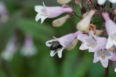Penstemon digitalis–Beard Tongue