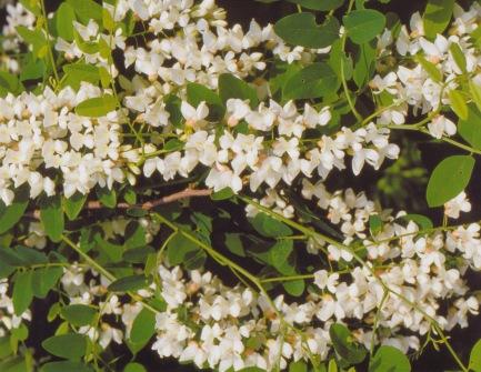 Robinia pseudo acacia–Black Locust