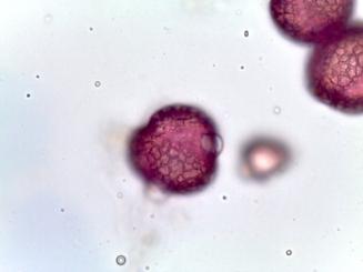 Tetradium daniellii–Beebee Tree