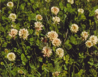 Trifolium repens–White Clover