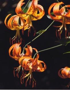 Lilium superbum–Turk's Cap Lily
