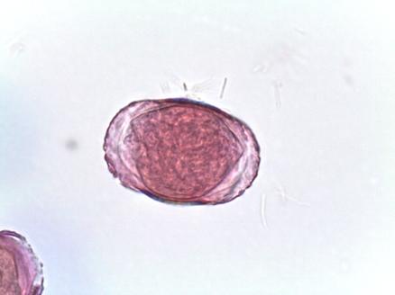 Calycanthus floridus – Carolina Allspice