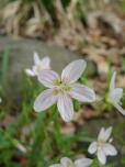 Claytonia virginica – Spring Beauty