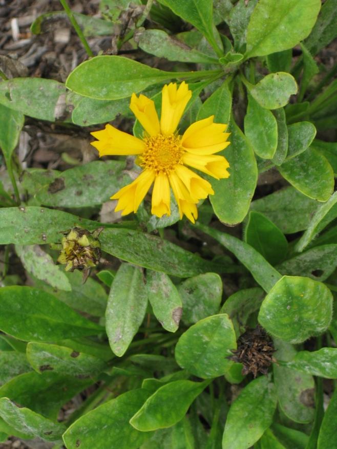 Coreopsis 'Jethro Tull' – Tickseed