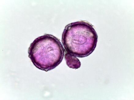 Corydalis bulbosa – Corydalis